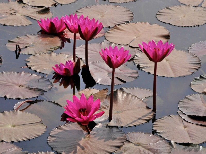 As I reached Badlapur village, I noticed a pond full of bright red water lilies