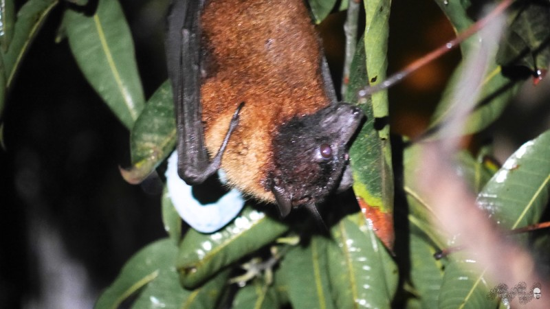 The bat first hung comfortably upside down and pruned itself like a cat